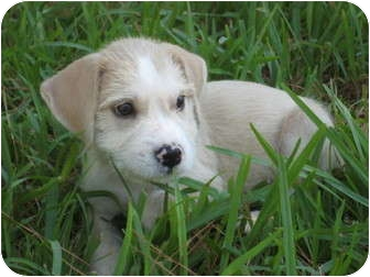 Labrador Retriever/Golden Retriever Mix Puppy for adoption in New Milford, Connecticut - Bogey
