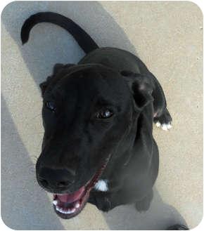Dalmatian/Labrador Retriever Mix Puppy for adoption in Mandeville Canyon, California - JW