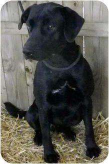 Labrador Retriever Mix Dog for adoption in Metamora, Indiana - Wallabee