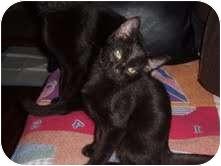 Domestic Shorthair Kitten for adoption in Medford, Massachusetts - Vitamin A