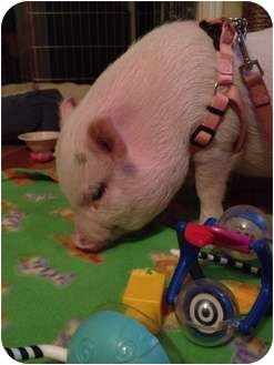 Pig (Potbellied) for adoption in Houston, Texas - Francine