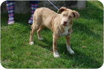 Pit Bull Terrier/Catahoula Leopard Dog Mix Dog for adoption in North Judson, Indiana - Clyde