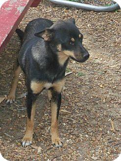 Miniature Pinscher/Terrier (Unknown Type, Small) Mix Dog for adoption in Williston, Vermont - Jayda