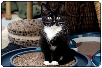 Domestic Shorthair Kitten for adoption in Sterling Heights, Michigan - Pirate - ADOPTED!