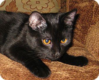 Domestic Shorthair Cat for adoption in Edmond, Oklahoma - Bullet