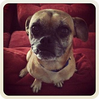 Pug/Chihuahua Mix Dog for adoption in Austin, Texas - Brewster