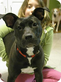 Labrador Retriever/American Staffordshire Terrier Mix Dog for adoption in Detroit, Michigan - Penelope-Adopted!