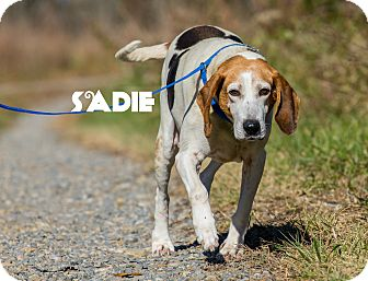 Treeing Walker Coonhound Mix Dog for adoption in MARION, Virginia - Sadie