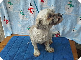 Shih Tzu/Maltese Mix Dog for adoption in Hagerstown, Maryland - Jackson