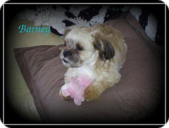 Shih Tzu Dog for adoption in Denver, North Carolina - Barney