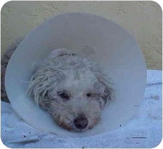 Poodle (Miniature) Mix Dog for adoption in Spring Valley, California - Bijou