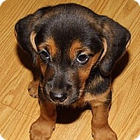 Adopt A Pet :: Trina - Bel Air, MD