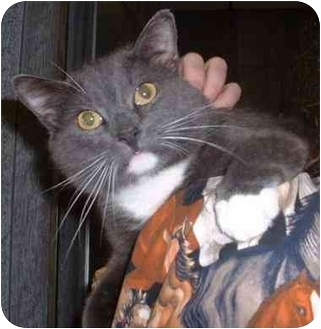 Domestic Shorthair Cat for adoption in New Philadelphia, Ohio - Mr. Bowties-Joker