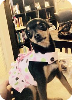 Chihuahua Dog for adoption in Goodyear, Arizona - Bambi