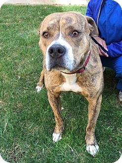 American Staffordshire Terrier/American Pit Bull Terrier Mix Dog for adoption in Meridian, Idaho - Kenya