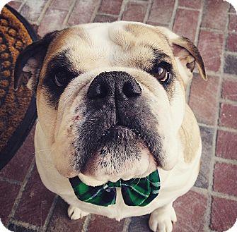 English Bulldog Dog for adoption in Columbus, Ohio - Diezel