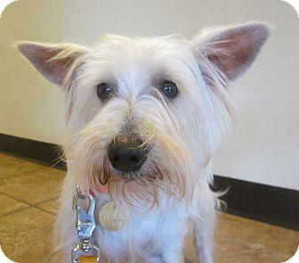 Schnauzer (Miniature) Dog for adoption in Oak Ridge, New Jersey - Koala