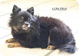 Pomeranian Dog for adoption in Newburgh, Indiana - Tawny