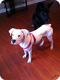 Boxer Mix Dog for adoption in Brentwood, Tennessee - Gabby (courtesy listing)