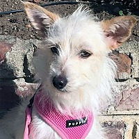 Terrier (Unknown Type, Medium) Dog for adoption in Pacific Grove, California - Willow