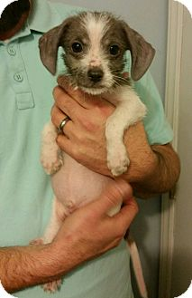 Shih Tzu/Terrier (Unknown Type, Small) Mix Puppy for adoption in Battleboro, Vermont - Gizmo-5 pounds