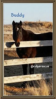 Thoroughbred for adoption in milk river, Alberta - Buddy