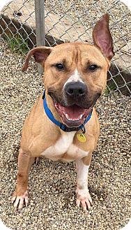 American Pit Bull Terrier Dog for adoption in Fulton, Missouri - Berkley - Ohio