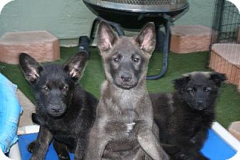 Husky/Labrador Retriever Mix Puppy for adoption in Phoenix, Arizona - Riddick