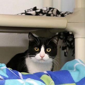 Domestic Shorthair/Domestic Shorthair Mix Cat for adoption in Morgan Hill, California - Ima Cat
