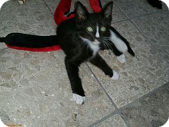 Domestic Shorthair Kitten for adoption in Grand Junction, Colorado - Brazil