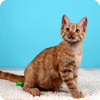Domestic Shorthair Kitten for adoption in Columbia, Illinois - Abraham