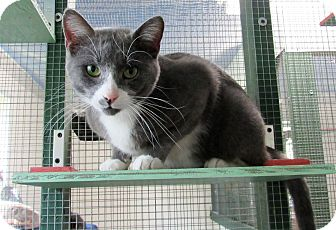 Domestic Shorthair Cat for adoption in Grinnell, Iowa - Evan