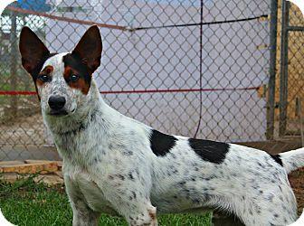 Cattle Dog Mix Dog for adoption in Shreveport, Louisiana - Cowboy