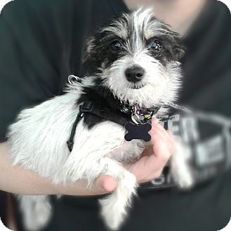 Terrier (Unknown Type, Small) Mix Puppy for adoption in Thousand Oaks, California - Misty