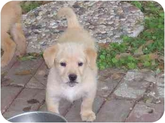 Terrier (Unknown Type, Small) Mix Puppy for adoption in Plaquemine, Louisiana - Truman