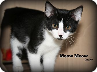 Domestic Shorthair Kitten for adoption in Glen Mills, Pennsylvania - MeowMeow