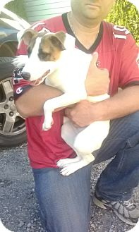 Jack Russell Terrier Mix Puppy for adoption in Wytheville, Virginia - Caitlynn