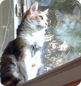 Domestic Mediumhair Kitten for adoption in Oakdale, California - Alice