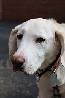 Labrador Retriever Mix Dog for adoption in Detroit, Michigan - Luna 2