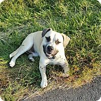Mastiff Mix Dog for adoption in Lancaster, Kentucky - Apache