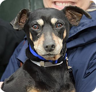 Miniature Pinscher Mix Dog for adoption in New York, New York - Dolores