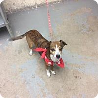 Adopt A Pet :: Benelli - Janesville, WI
