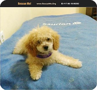 Miniature Poodle Puppy for adoption in Madison, Tennessee - Violet - special needs