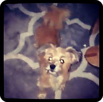 Shih Tzu/Yorkie, Yorkshire Terrier Mix Dog for adoption in Grand Bay, Alabama - Lux