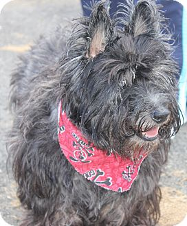 Cairn Terrier Dog for adoption in Clayton, New Jersey - NIKO