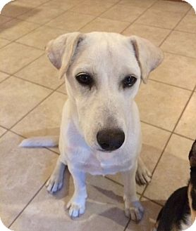 Labrador Retriever Mix Puppy for adoption in Umatilla, Florida - Royal