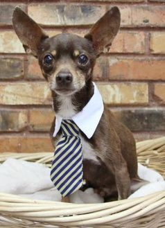 Chihuahua Mix Dog for adoption in Fort Worth, Texas - Teddy