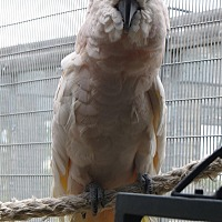 Cockatoo for adoption in Elizabeth, Colorado - Merlyn