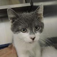 Domestic Shorthair Kitten for adoption in Massapequa, New York - Rambo