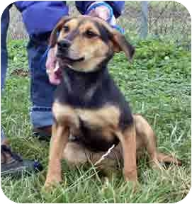 Shepherd (Unknown Type)/Hound (Unknown Type) Mix Puppy for adoption in Osseo, Minnesota - Katie
